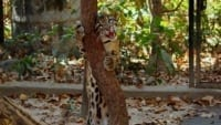 what is behavioral enrichment? What is behavioral enrichment? Scent enrichment for clouded leopard popork 200x113 in the news In The News Scent enrichment for clouded leopard popork 200x113