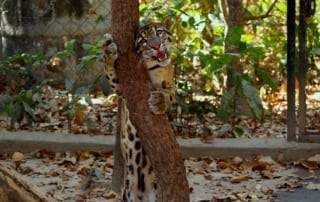 what is behavioral enrichment? What is behavioral enrichment? Scent enrichment for clouded leopard popork 320x202