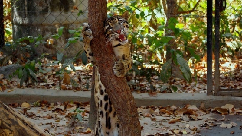 what is behavioral enrichment? What is behavioral enrichment? Scent enrichment for clouded leopard popork 800x451