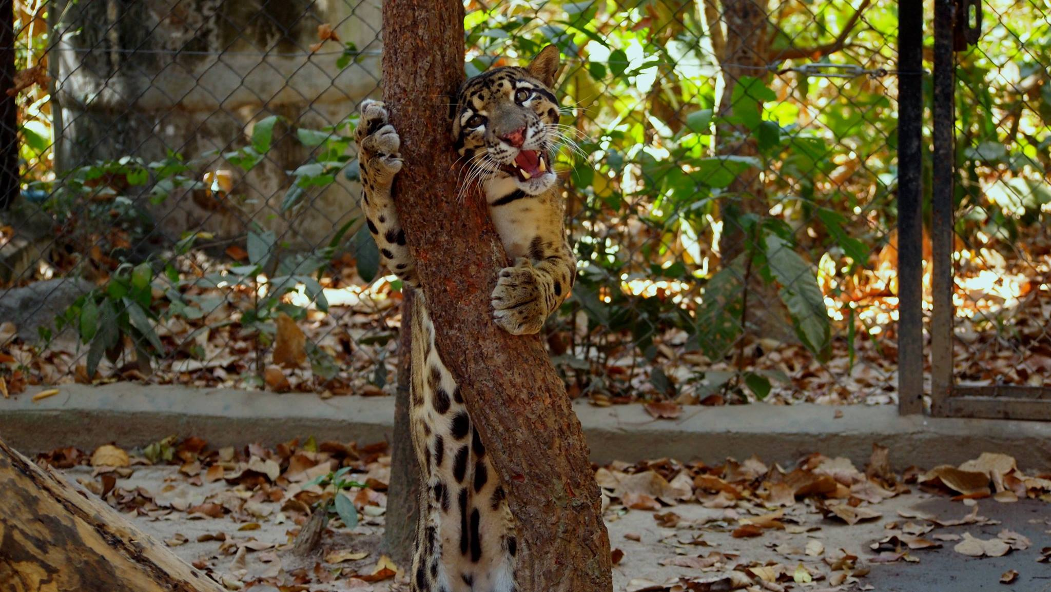 what is behavioral enrichment? What is behavioral enrichment? Scent enrichment for clouded leopard popork