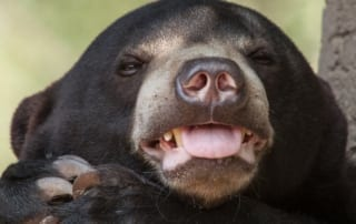 sun bear Sun Bear Sun Bear 1 320x202 tamao wildlife rescue center Phnom Tamao Wildlife Rescue Center Sun Bear 1 320x202