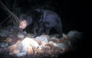 sun bear Sun Bear Sun Bear camera trap 320x202