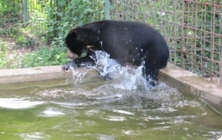sun bear Sun Bear Sun bear in pool at Phnom Tamao Wildlife Rescue Center 320x202