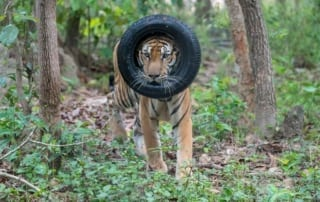 what is behavioral enrichment? What is behavioral enrichment? tiger head in tire enrichment 320x202