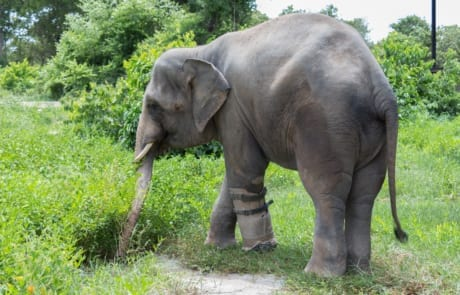 rescued elephant, chhouk, receives a new prosthetic foot Rescued elephant, Chhouk, receives a new prosthetic foot 2015 08 14 CRW Elephant Chhouk 24 460x295