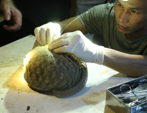 Pangolin rescued from restaurant prepared for return to the wild!