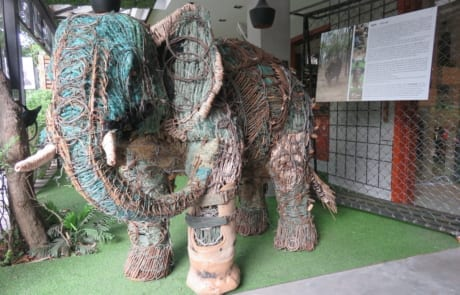 rescued elephant, chhouk, receives a new prosthetic foot Rescued elephant, Chhouk, receives a new prosthetic foot IMG 2656 460x295