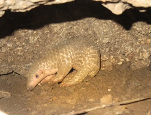 Critically endangered pangolin pup born at release station!