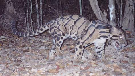 clouded leopard Clouded Leopard caught on camera Claudet Leopard Cambodia camera trap