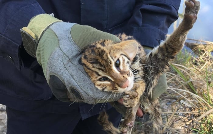 sponsor the green peafowl station Sponsor the Green Peafowl Station Tiny Fishing Cat Kitten Rescued and released 700x441