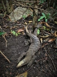 wildlife trapping Cruel Wildlife Trapping Asian Monitor lizard trapped 200x267
