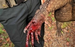 wildlife trapping Cruel Wildlife Trapping Horrible animal snares traps Monitor lizard 320x202