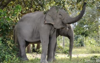 Can Asian elephant populations recover? JEREMY HOLDEN Elephant Trunks crop 320x202 thomas gray Dr. Tom Gray JEREMY HOLDEN Elephant Trunks crop 320x202