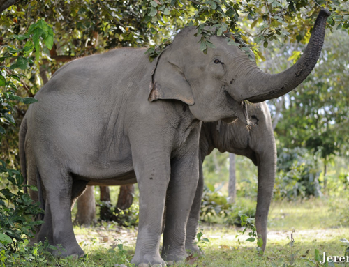 Can Asian elephant populations recover?