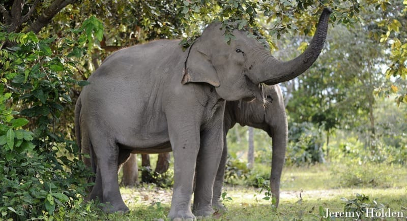 Can Asian elephant populations recover? JEREMY HOLDEN Elephant Trunks crop 800x435