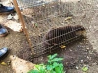Smooth-coated otter rescue operation Otter rescued by Wildlife Police 200x150