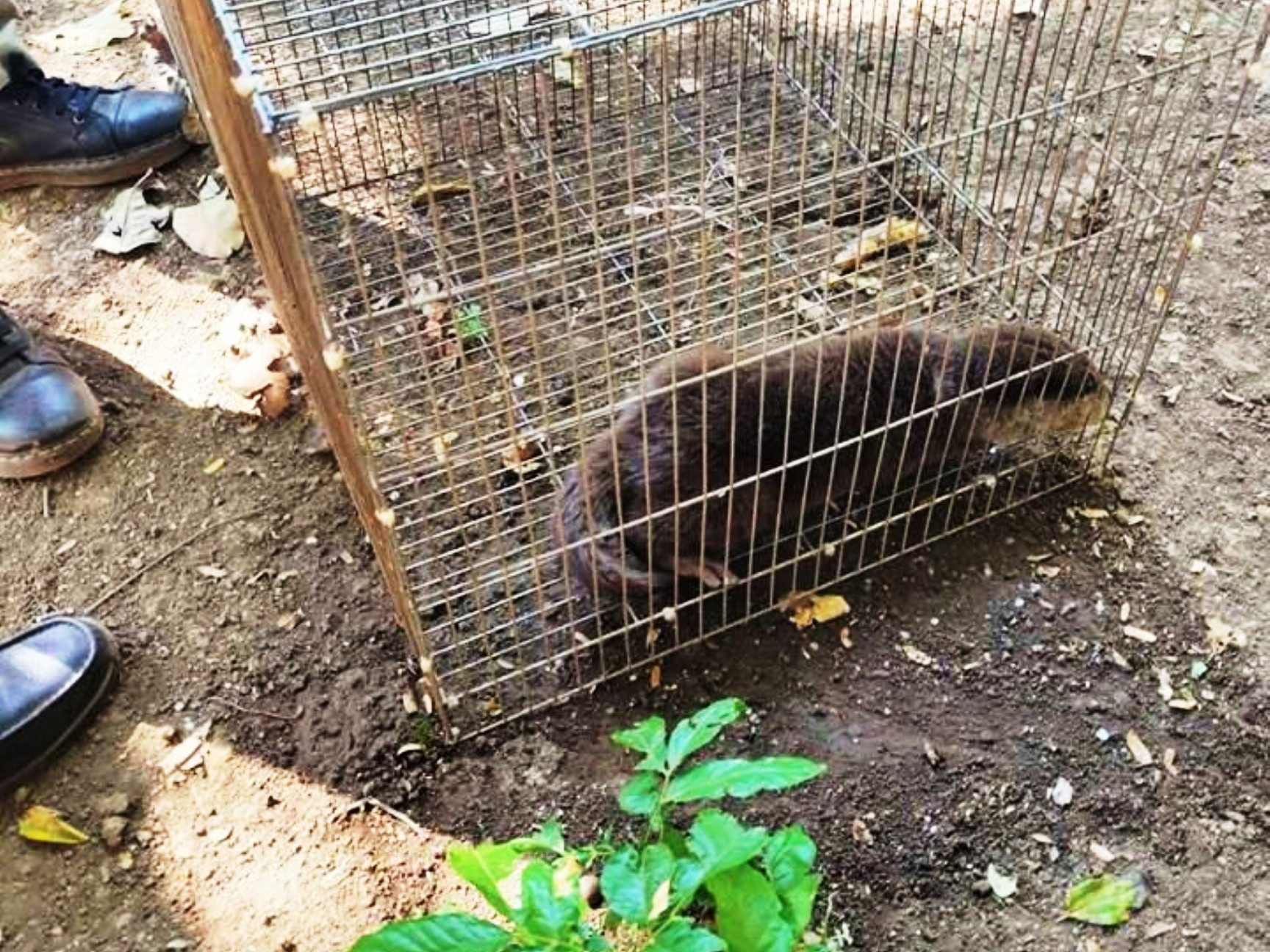 Smooth-coated otter rescue operation Otter rescued by Wildlife Police