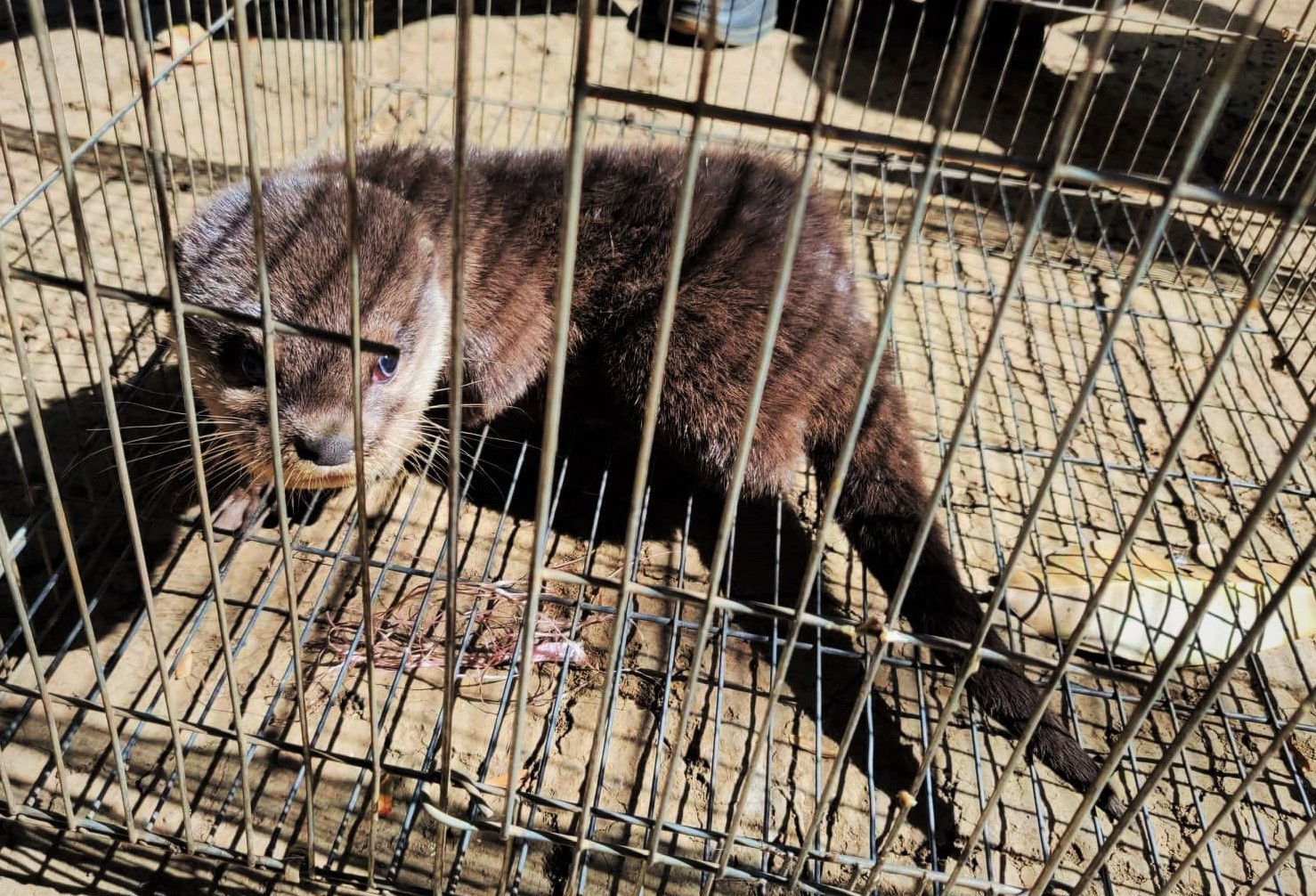 Smooth-coated otter rescue operation Otter rescued from Wildlife Trade