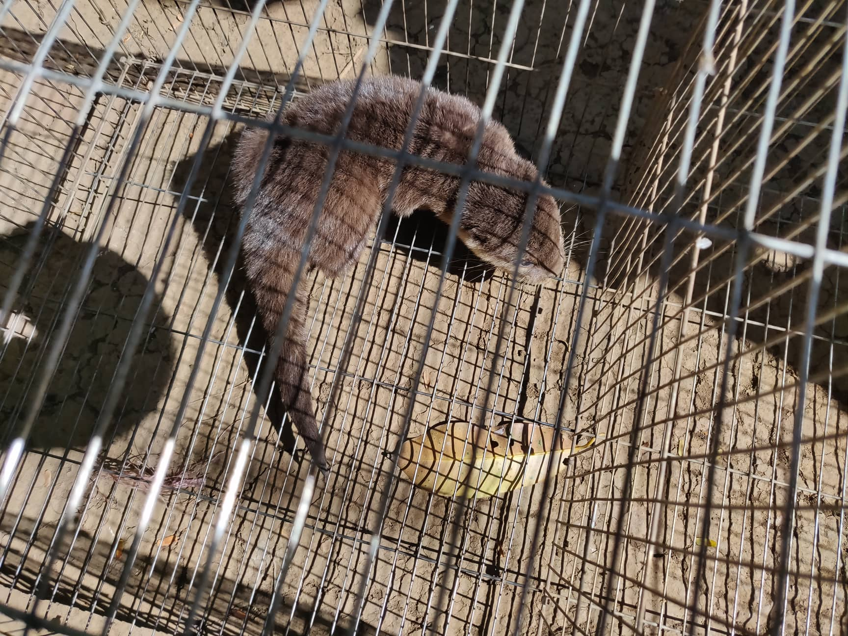 Smooth-coated otter rescue operation Smooth coated Otter Wildlife Traffiking