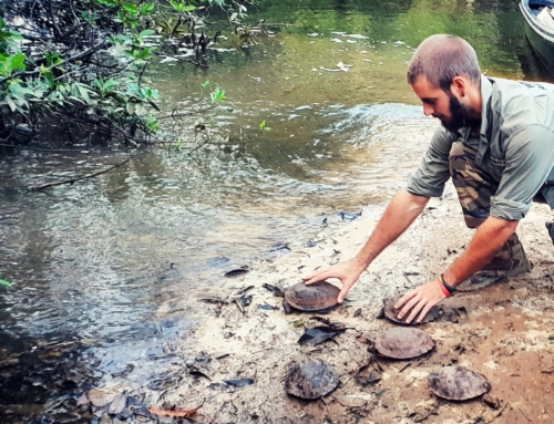 Giant Asian Pond Turtle and Soft Shell Turtle saved from the illegal wildlife trade – Release VIDEO