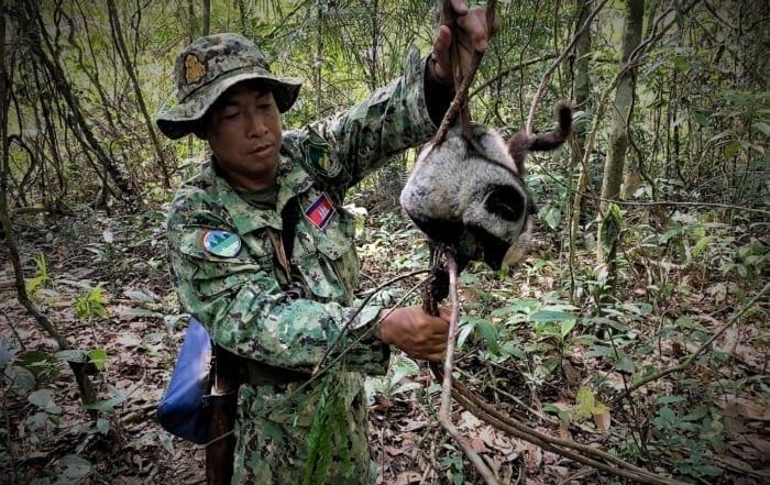 sponsor the siamese crocodile station Sponsor the Siamese Crocodile Station Civet trapped for Kopi Luwak coffee 700x441