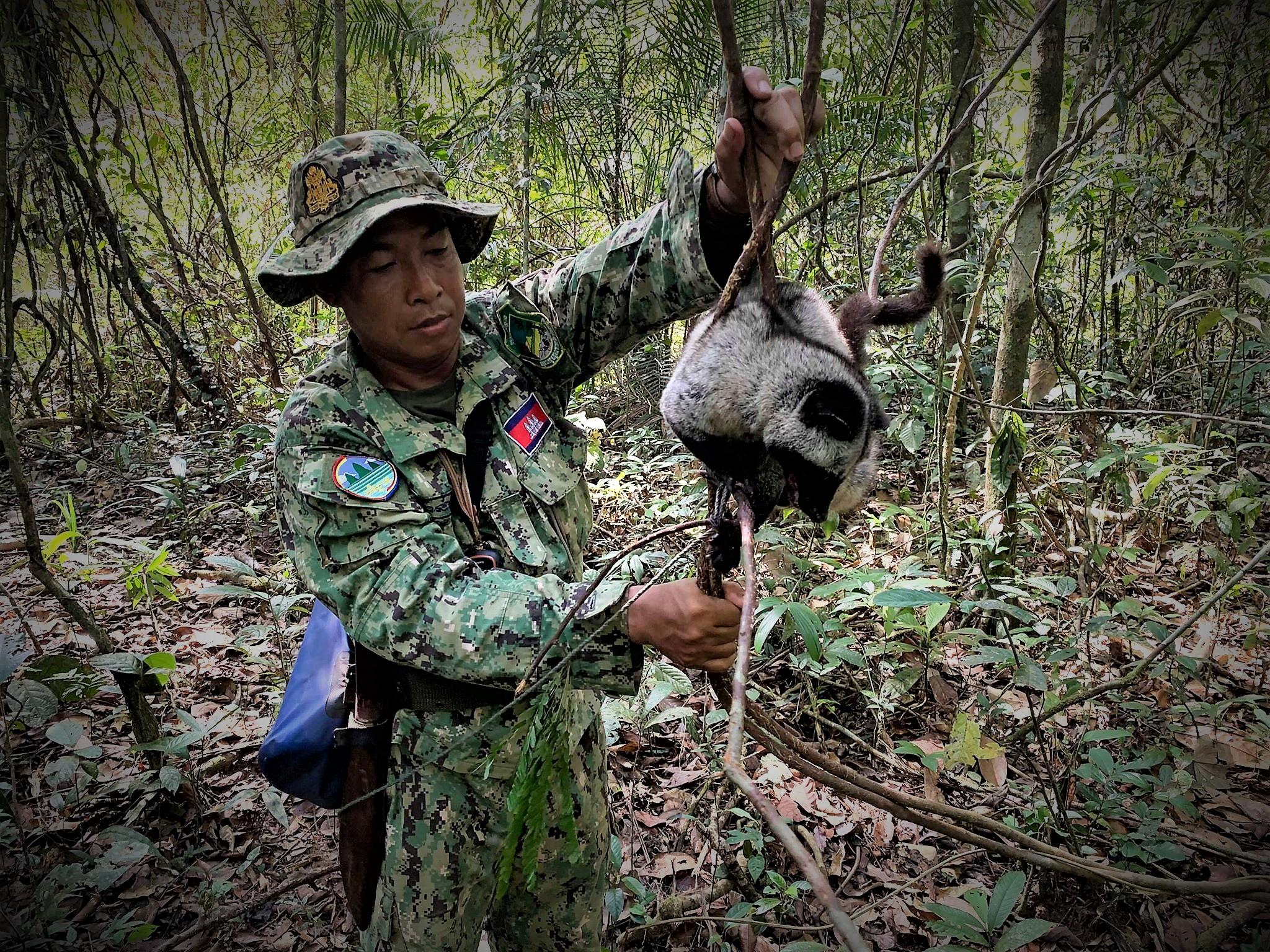 kopi luwak Civet rescued from the Kopi Luwak coffee industry Civet trapped for Kopi Luwak coffee
