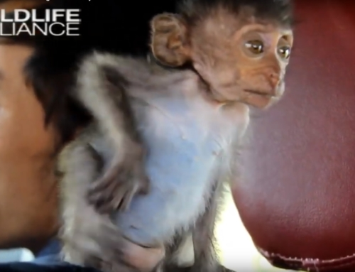 Baby macaque, Heidi, rescued and brought to nursery