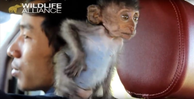 baby monkey heidi Baby macaque, Heidi, rescued and brought to nursery Heidi macaque brought to phnom tamao 800x408