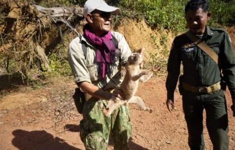 slow loris Slow loris rescued from a poacher's snare Slow loris saved by rangers 460x295