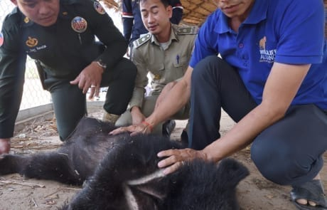 asiatic black bear Asiatic black bear rescued by wildlife police unit WRRT and black bear in Pursat Jan 2019 Jeremy Holden 460x295