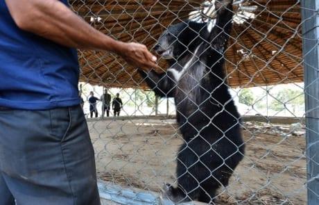 asiatic black bear Asiatic black bear rescued by wildlife police unit WRRT collect black bear in Pursat Jan 2019 Jeremy Holden 460x295
