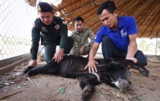 asiatic black bear Asiatic black bear rescued by wildlife police unit WRRT with black bear in Pursat Jan 2019 Jeremy Holden 320x202
