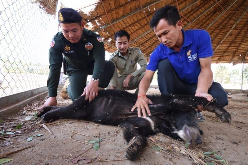 asiatic black bear Asiatic black bear rescued by wildlife police unit WRRT with black bear in Pursat Jan 2019 Jeremy Holden 800x534