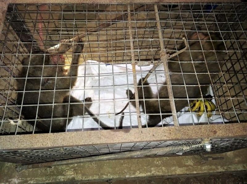 anti-poaching Anti-poaching team saves two monkeys from the illegal wildlife trade monkeys saved from poachers 800x598