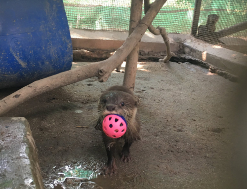 Asian small clawed otter is latest arrival at rescue center