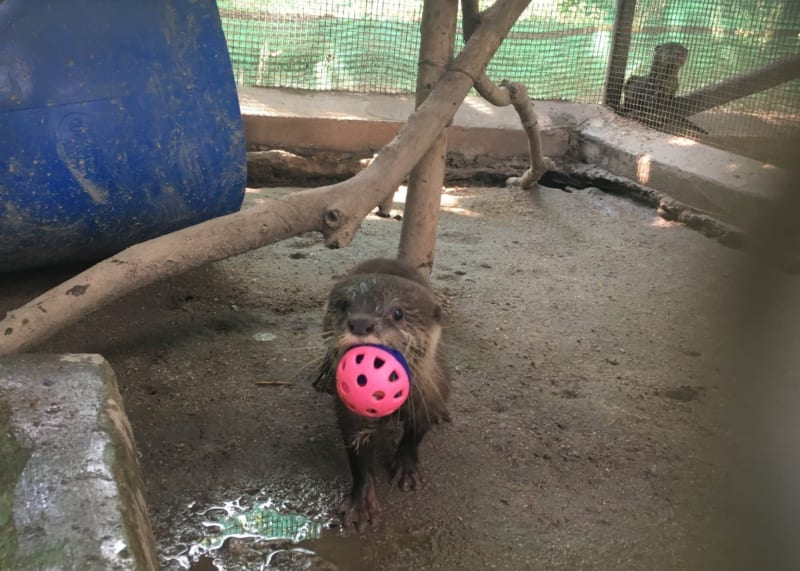 asian small clawed otter Asian small clawed otter is latest arrival at rescue center Asian Small clawed otter with enrichment toy ball 800x571