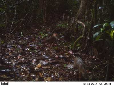 smallest deer Rangers rescue the smallest deer in the world from a poacher Mouse deer camera trap Cambodia 400x300