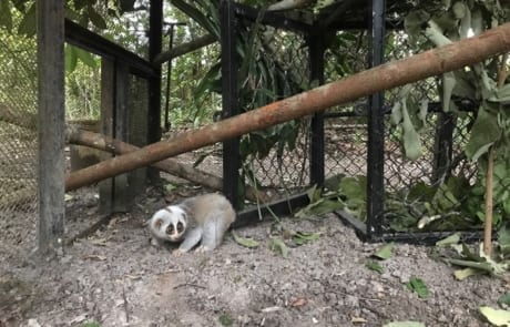 slow loris Slow loris released after 10 months of rehabilitation Slow loris in new enclosure at WRS 460x295