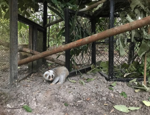 Slow loris released after 10 months of rehabilitation