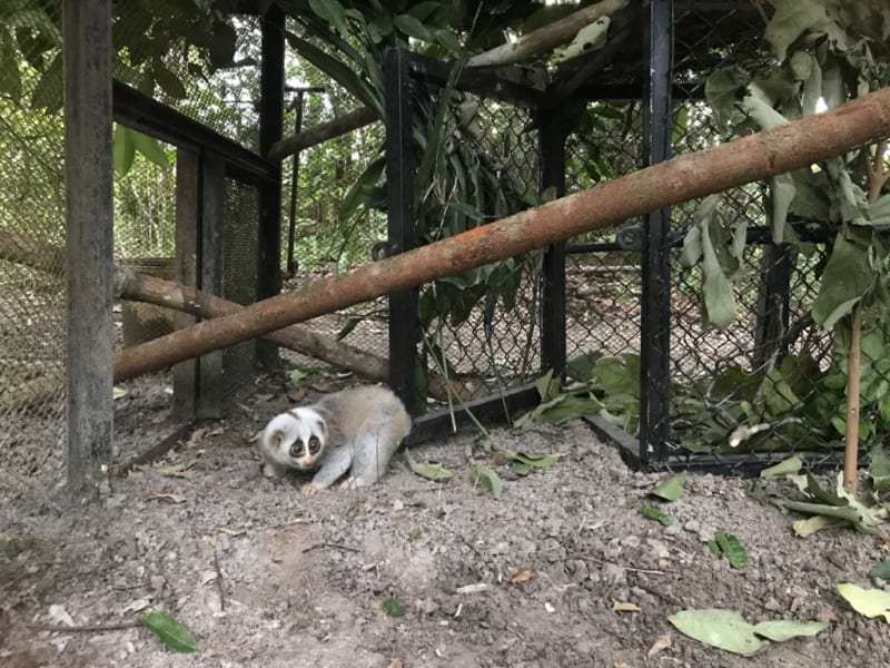 slow loris Slow loris released after 10 months of rehabilitation Slow loris in new enclosure at WRS 800x600