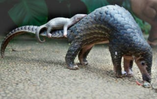 World Pangolin Day 2019 World Pangolin Day 320x202