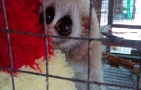 slow loris Slow loris released after 10 months of rehabilitation baby slow loris in nursery 460x295