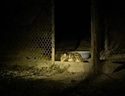 Released leopard cat continues to thrive in the wild