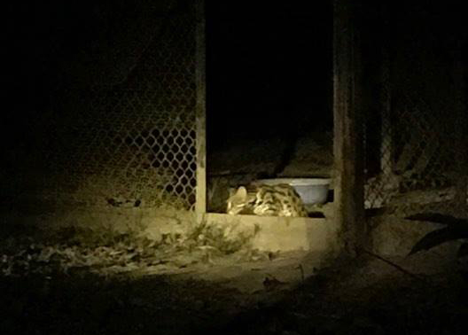released leopard cat continues to thrive Released leopard cat continues to thrive in the wild 2018