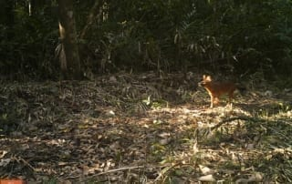 dhole Endangered dholes in the Cardamom Rainforest – VIDEO Dhole in Cardamom Rainforest Camera trap 320x202