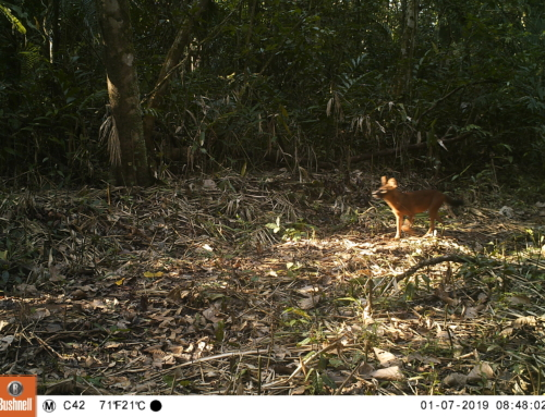 Endangered dholes in the Cardamom Rainforest – VIDEO