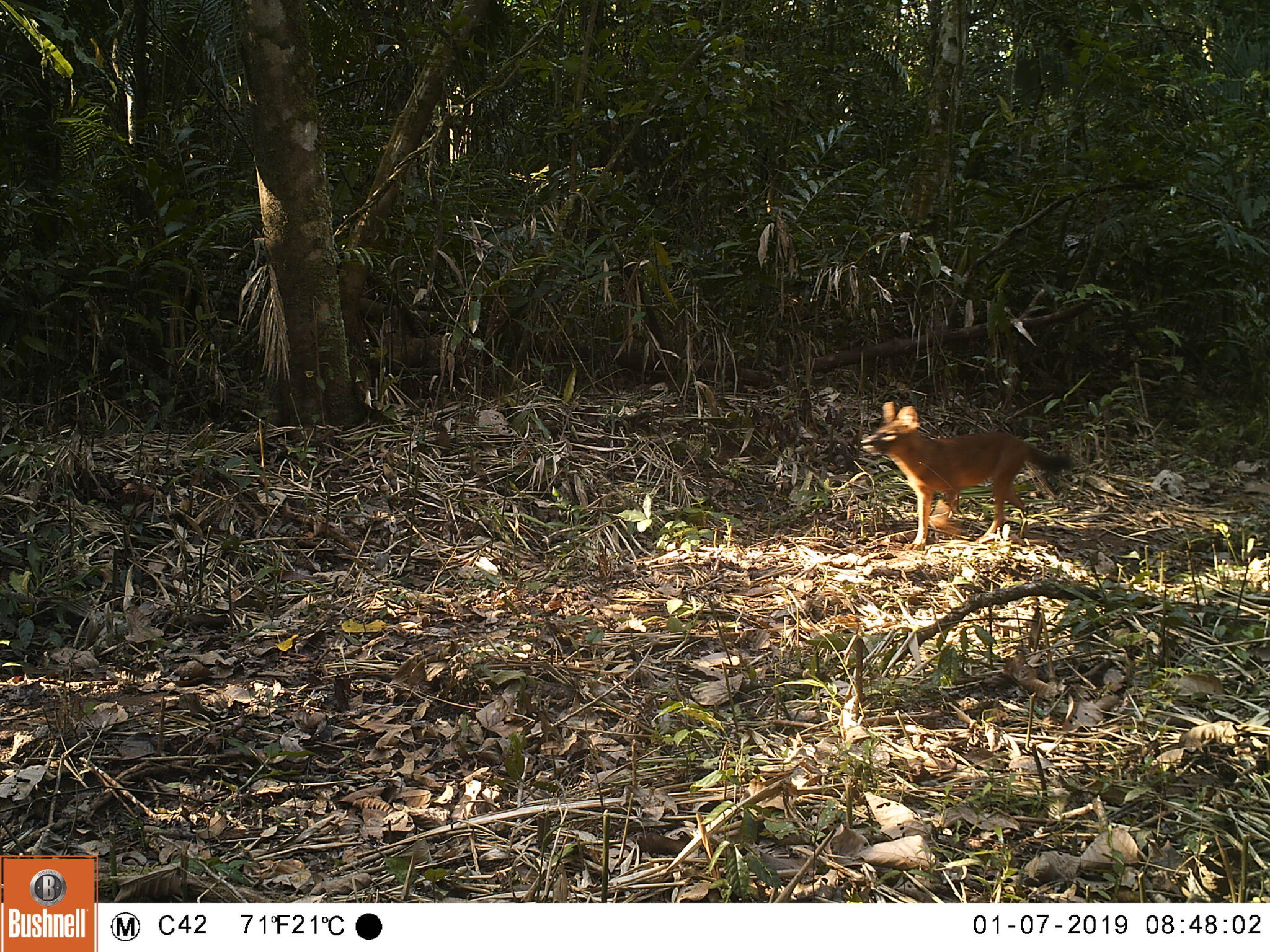 dhole Endangered dholes in the Cardamom Rainforest – VIDEO Dhole in Cardamom Rainforest Camera trap