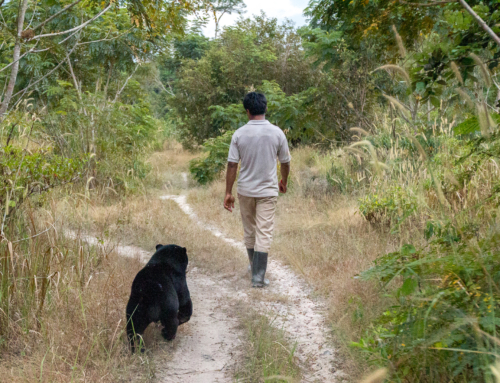 Bear necessities – an update on cared for and released bears in the Cardamom Rainforest