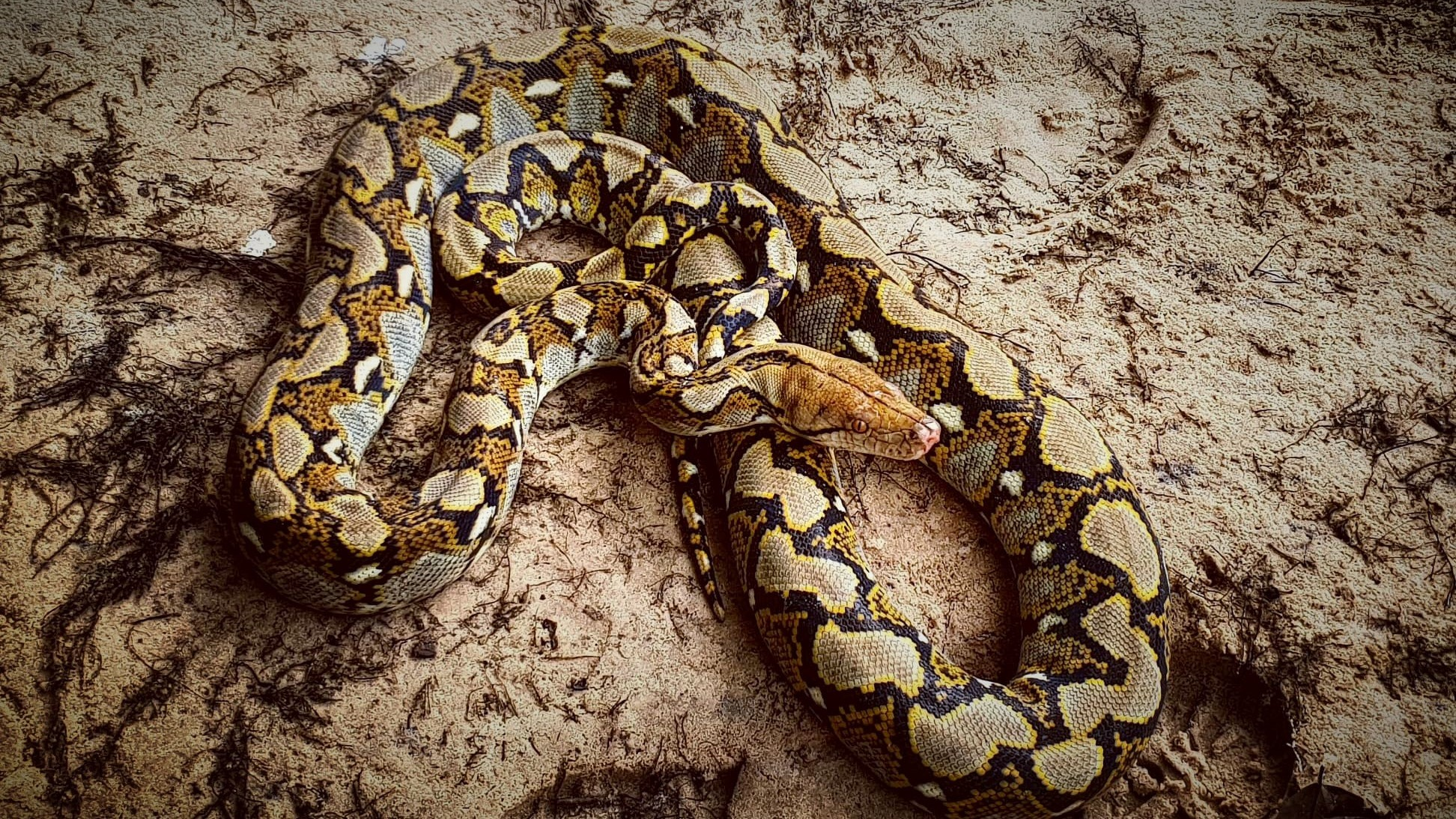 The largest snake native to Asia Python reticulatus Asia