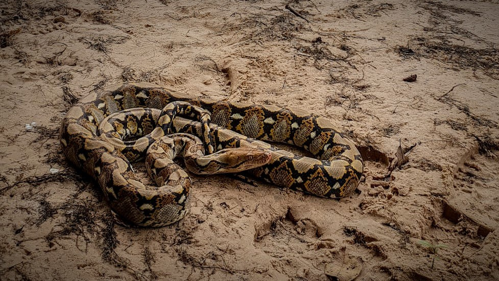 The largest snake native to Asia Python reticulatus Cambodia
